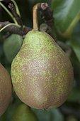 Pear 'Nouveau poiteau' in an orchard