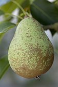 Pear 'Highland' in an orchard