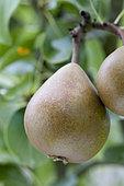 Pear 'Président Héron' in an orchard