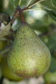 Pear 'Pierre Corneille' in an orchard