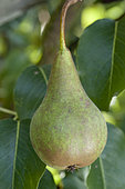 Pear 'Beurré Bosc' in an orchard