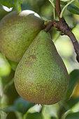Pear 'Doyenné blanc' in an orchard