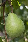Pear 'Beurré Alexandre Lucas' in an orchard