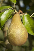 Pear 'Abbé Fetel' in an orchard