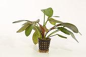 Plante aquatique Echinodorus 'Ozelot Red' sur fond blanc. Cultivar