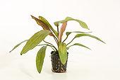 Plante aquatique Echinodorus 'Red Devil' sur fond blanc. Cultivar