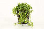 Plante aquatique Micranthemum 'Monte Carlo' sur fond blanc