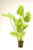 Plante aquatique (Echinodorus radicans) sur fond blanc
