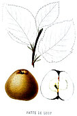 Apple 'Paw Wolf', Source: Pomology of France, fruit grown in France, 1864