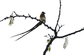Broad-tailed paradise-whydah (Vidua paradisaea) on a branch, Kruger National park, South Africa