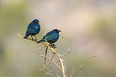 Greater blue-eared Glossy-Starling (Lamprotornis chalybaeus) on a branch, Kruger National park, South Africa