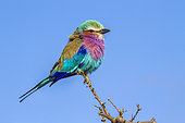 Lilac-breasted roller (Coracias caudatus) on a branch, Kruger National park, South Africa