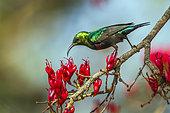 Mariqua Sunbird (Cinnyris mariquensis) on a branch, Kruger National park, South Africa