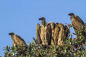Vautour africain (Gyps africanus) sur un arbre, Kruger, Afrique du Sud