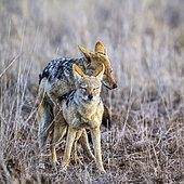 Chacal à chabraque (Canis mesomelas) accouplement, Kruger, Afrique du Sud