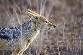 Portrait de Chacal à chabraque (Canis mesomelas), Kruger, Afrique du Sud