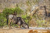 Gnou à queue noire (Connochaetes taurinus) buvant au point d'eau, Kruger, Afrique du Sud