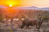 Southern white rhinoceros (Ceratotherium simum simum) at dusk, Kruger National Park, South Africa