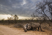 Southern white rhinoceros (Ceratotherium simum simum) Female dying and young, Kruger National Park, South Africa