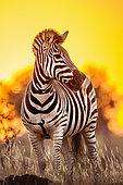 Burchell's zebra (Equus quagga burchellii) at dusk, Kruger National Park, South Africa