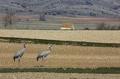 Common cranes (Grus grus) couple in the fields, wintering in the Gallocanta lagoon, Spain