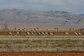 Common cranes (Grus grus) feeding in the fields, wintering in the Gallocanta lagoon, Spain
