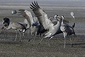 Common cranes (Grus grus) signs of pre-nuptial aggressiveness, wintering in the Gallocanta laguna, Spain
