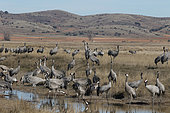 Common cranes (Grus grus) drinking water, wintering in the Gallocanta laguna, Spain
