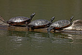 Northern red-bellied turtles (Pseudemys rubriventris), basking,Maryland, USA