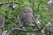 Tawny owl (Strix aluco) young in an apple tree in spring, Pyrenees, France