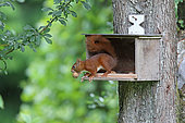 Red squirrel (Sciurus vulgaris) on the nut stock, Normandy, France