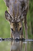 Roe deer (Capreolus capreolus) roebuck drinking at forest waterhole, Kiskunság National Park, Hungary, Europe