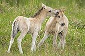Konik, wild horse, two foals playing, Oranienbaum heathland, Saxony-Anhalt, Germany, Europe
