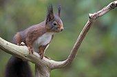 Red Squirrel (Sciurus vulgaris), Emsland, Lower Saxony, Germany, Europe