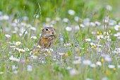 European ground squirrel or souslik (Spermophilus citellus) eating daisies, National Park Lake Neusiedl, Burgenland, Austria, Europe