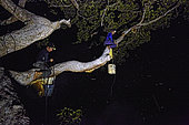 The Honey Nights. Seated on the same branch, Hamsah and his brother harvest the combs full of honey. Borneo, Indonesia
