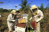 Killers Africanized Honeybees. The Africanized bees usually make preventive attacks. They attack in the greatest number and follow their victim over hundreds of metres. Panama