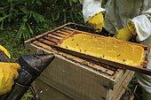 Killers Africanized Honeybees. A frame of honey. Panama