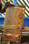 Killers Africanized Honeybees. The wax that closes the wax cells full of honey is cut. Panama
