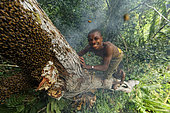 The pygmy canopy honey. Surrounded by bees, the honey-hunter balancing on the tree trunk plunges his hand into the nest to harvest the honeycombs. In the N'Bensele clan, the best way to find a wife in the camp is to give her honey. A man has to know how to climb and not be afraid of stings. Likouala, Congo