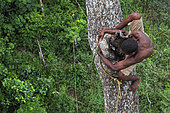 The pygmy canopy honey. On an enormous mahogany tree 50 metres high, the honey-hunter perched on the trunk passes a branch with dexterity. The pygmies are excellent climbers, athletes of the forest who accomplish feats every day in harvesting the honey. Likouala, Congo