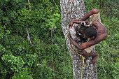 Le miel de la canopée pygmée. Sur un énorme acajou de plus de 50 mètres de hauteur, le chasseur juché sur le tronc passe avec dextérité une branche. Les pygmées sont d'excellents grimpeurs, des athlètes de la forêt qui réalisent chaque jour des prouesses pour récolter le miel. Likouala, Congo