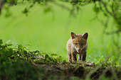 Red fox (Vulpes vulpes) young at the exit of the burrow in meadow under a hedge, Ardenne, Belgium
