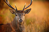 Portrait of Red Deer (Cervus elaphus) male, Ardennes, Belgium