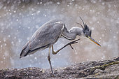 Grey Heron (Ardea cinerea) grooming in snow, Alsace, France