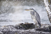 Grey Heron (Ardea cinerea) in snow, Alsace, France