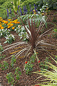 Flowers bed mulched using cocoa shell, purple cordyline
