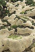 Honeycomb tube worms (Sabellaria alveolata) and Common mussel (Mytilus edulis) in the Arcachon basin. La Teste-de-Buch, Pilat Plage, Gironde, France.