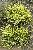 Long-spiked glasswort (Salicornia procumbens) in the Arcachon basin, France