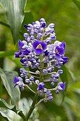 blue ginger (Dichorisandra thyrsiflora)